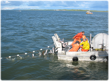 [Gene's fishing crew pulling in a net full of salmon in Bristol Bay, AK]